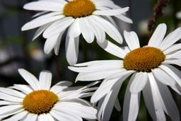 daisies (leucanthemum) 相片