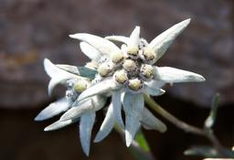 Edelweiss (Leontopodium alpinum) ภาพถ่าย