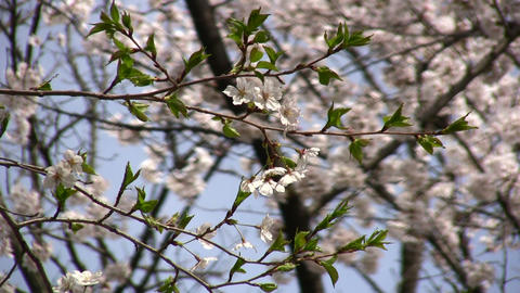 cherry blossom 02 Stock Video Footage