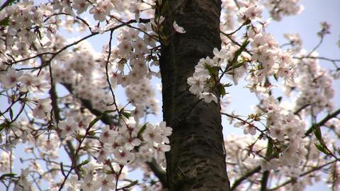 cherry blossom 04 Stock Video Footage