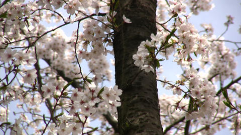 cherry blossom 04 Stock Video Footage