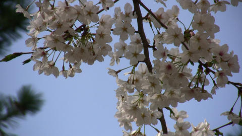 cherry blossom 06 Stock Video Footage