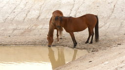 Two Horses Drinking Water from a Dam Footage