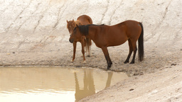 Two Horses Drinking Water from a Dam Stock Video Footage