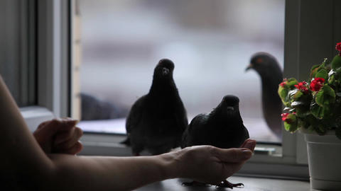 pigeons on the windowsill Footage