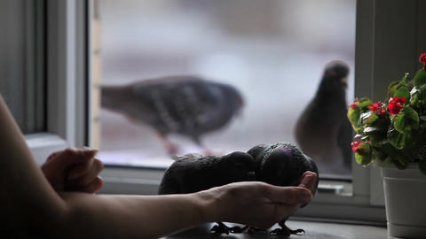 pigeons on the windowsill Stock Video Footage