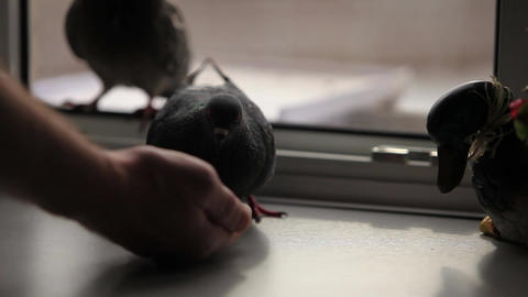 tame pigeons Stock Video Footage