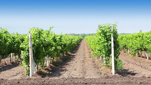 Rows of the vineyard Stock Video Footage