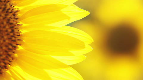 Sunflower petals Stock Video Footage