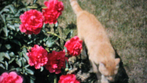 Cat Explores Beautiful Roses In The Garden 1962 Vintage... Stock Video Footage