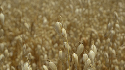 Crop of Oats Ready for Harvest Stock Video Footage