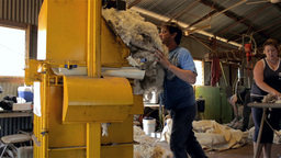 Shedhand Putting Wool Fleeces into a Wool Compressor Stock Video Footage