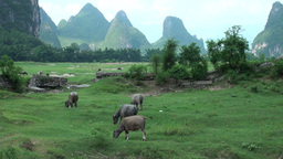 Buffaloes amidst beautiful karst scenery Stock Video Footage