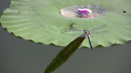 Dragonfly and a water lily Stock Video Footage