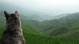Old dog 'guarding' the rice terraces in Guangxi pr Stock Video Footage