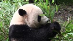 Giant panda bear eats bamboo Stock Video Footage