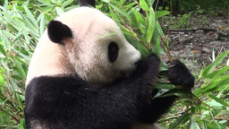 Giant panda bear eats bamboo Stock Video Footage