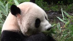 Giant panda bear eating bamboo Stock Video Footage