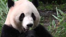 Giant panda bear eating bamboo Footage