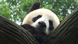 Giant panda bear sleeping Stock Video Footage
