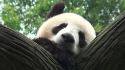 Giant panda bear sleeping Stock Video Footage
