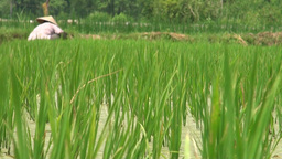 Rice fields Footage