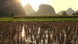 Beautiful sunset over rice fields and karst scener Stock Video Footage