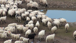 Sheep in China Footage