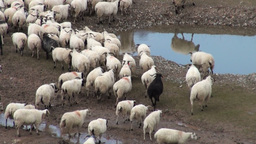 Sheep in China Stock Video Footage