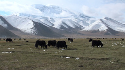 Yaks grazing in a meadow Stock Video Footage
