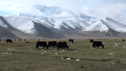 Yaks grazing in a meadow Stock Video Footage