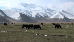 Yaks grazing in a meadow Footage