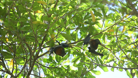 Flying foxes Footage