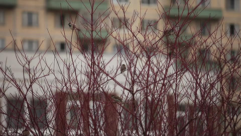 sparrows on the tree Footage