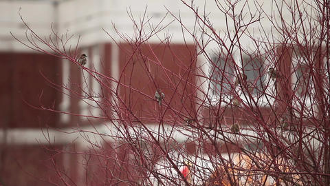 sparrows on the tree Stock Video Footage