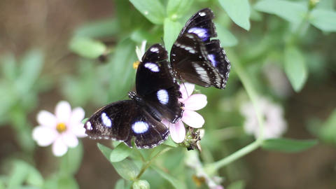 Two Butterflies Fighting for Nectar Footage