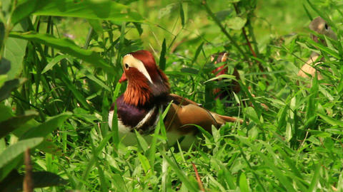 Exotic Mandarin Duck Resting In The Garden Stock Video Footage