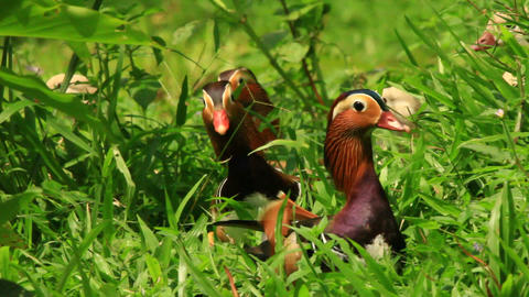 Exotic Mandarin Duck Footage