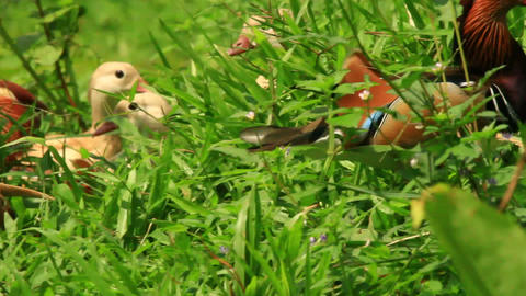 Exotic Mandarin Duck Stock Video Footage