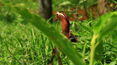 Exotic Mandarin Duck Stock Video Footage