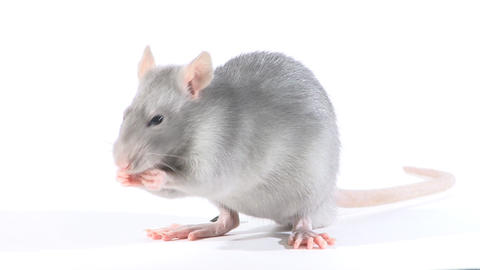 Rat gnaws seeds, in the studio on a white background Footage