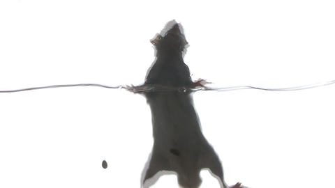 Rat swimming in the clear water, in the studio on a white background Footage