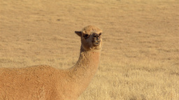 Alpaca Looking Around in Dry Paddock Footage