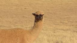 Alpaca Looking Around in Dry Paddock Stock Video Footage