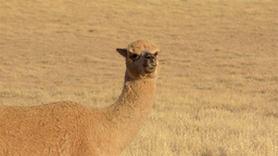 Alpaca Looking Around in Dry Paddock Stock Video Footage