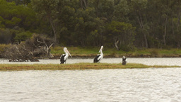 Pelicans on the Moore River Stock Video Footage