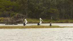 Pelicans on the Moore River Footage