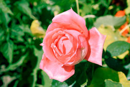 Closeup picture of beautiful rose Photo