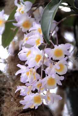Close up of Orchid Flower 사진