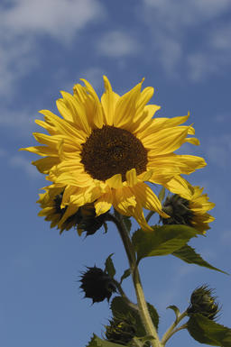A sunflower (Helianthus annuus) 相片